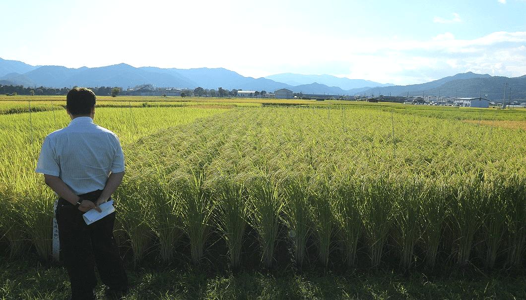 亀岡圃場の様子。右が「祝」、左が「京の輝き」の酒米。背丈の高さが違う。