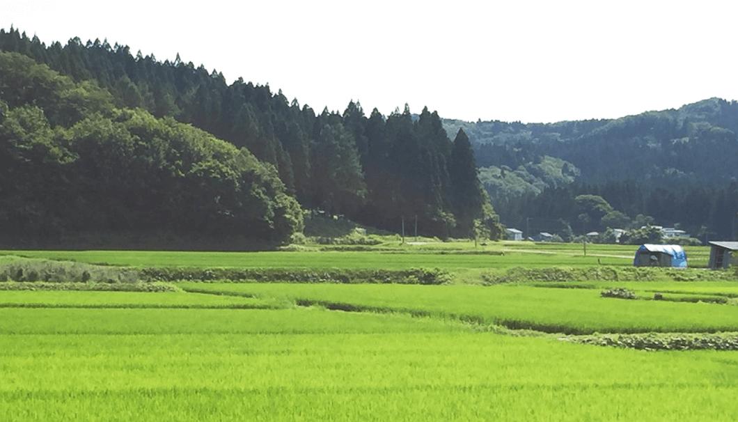 酒米が育つ水田