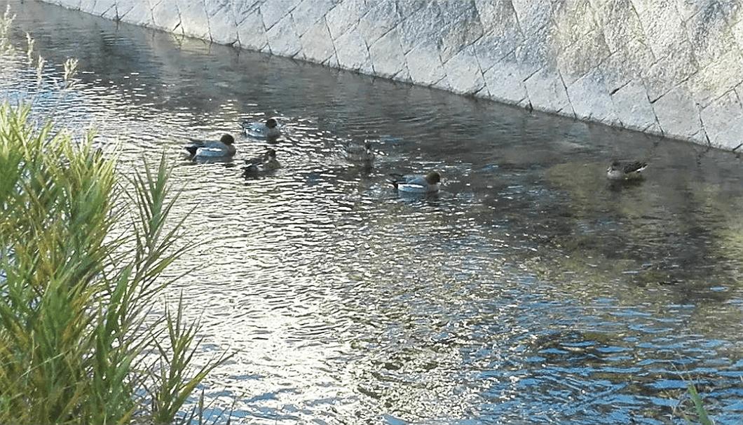 川面に群れる鴨たち
