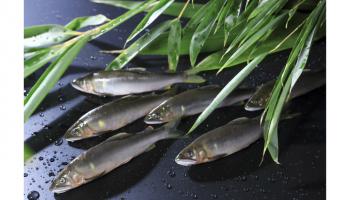 南四国の旬-天然遡上(そじょう)鮎が数匹並んでいる写真