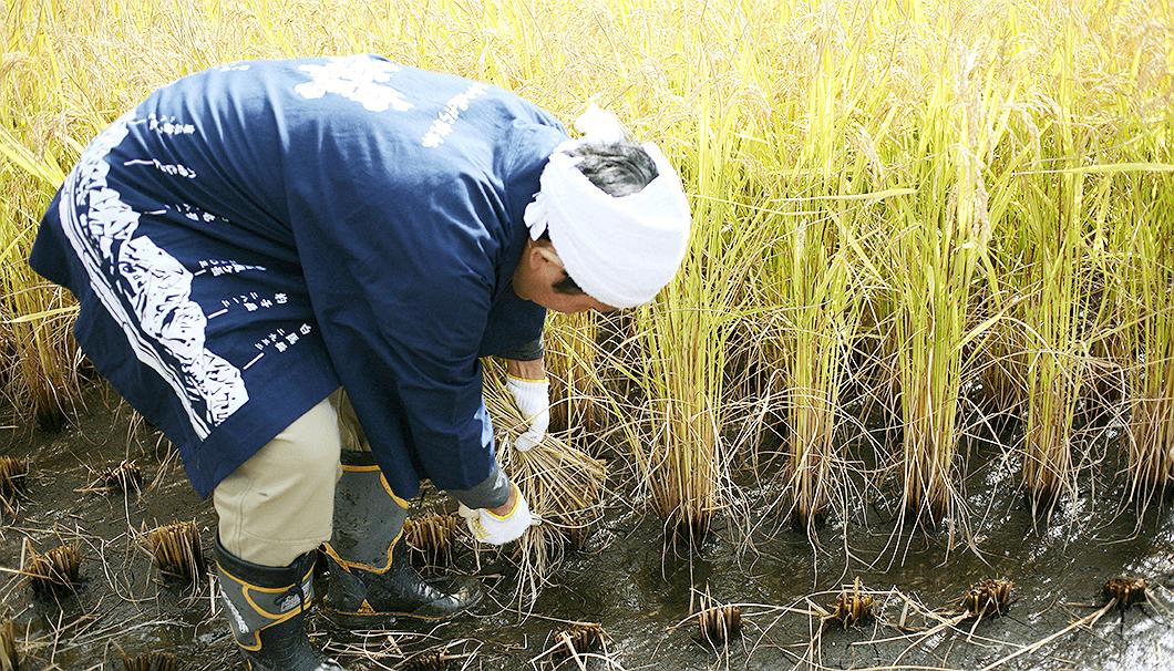 稲刈りをする「薄井商店」杜氏の松浦さん