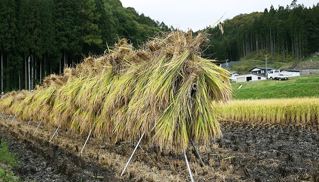 稲刈りを終えた信州の新品種「山恵錦(さんけいにしき)」