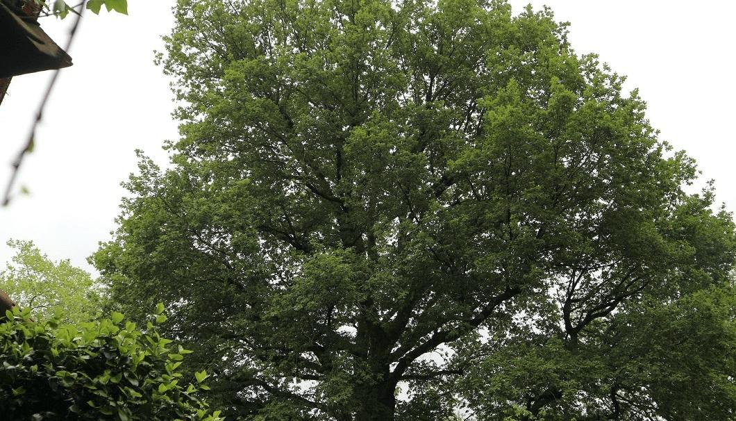 ムガリッツの近くにあるオークの木