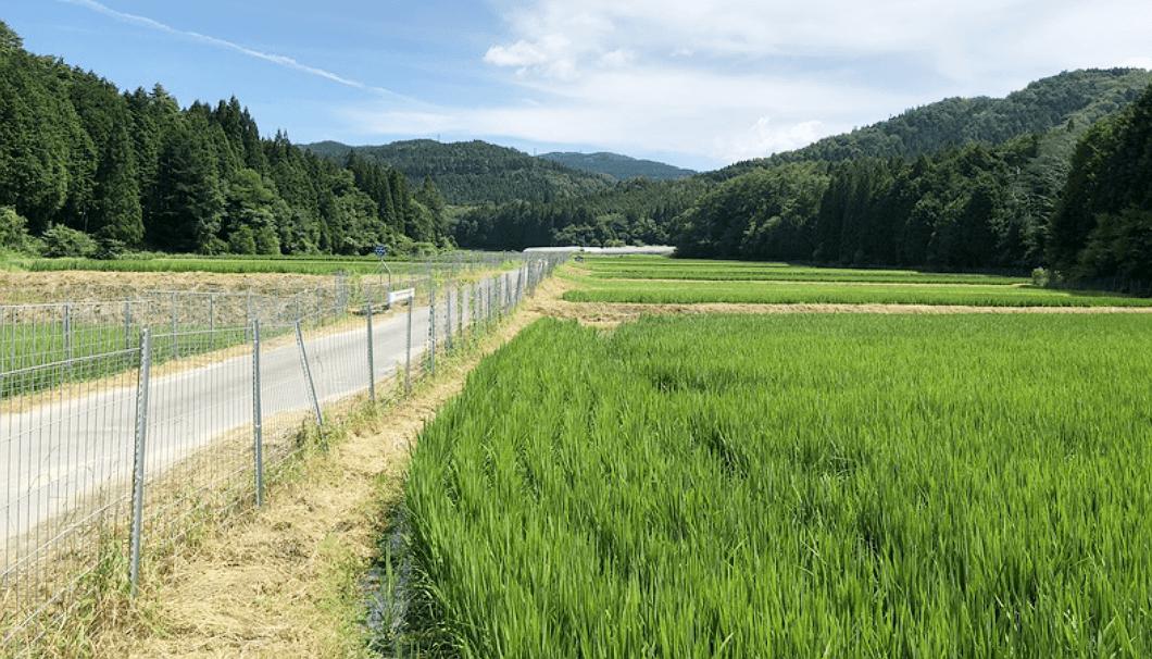 関谷酒造が育てている水田