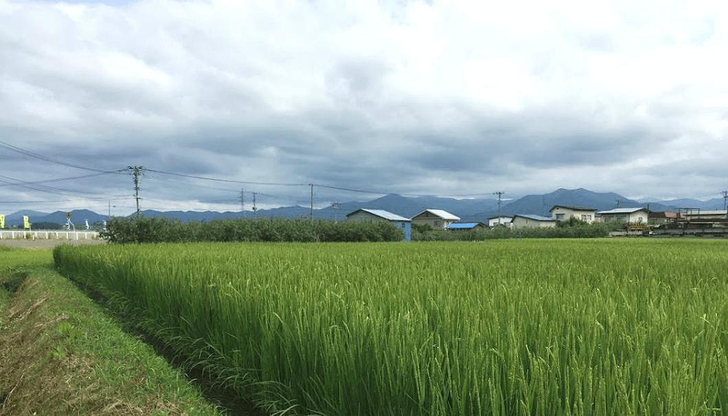 稲が生育中の水田