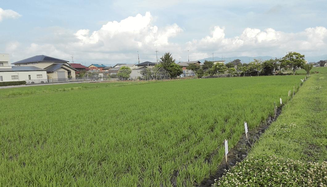 稲枝地区の水田