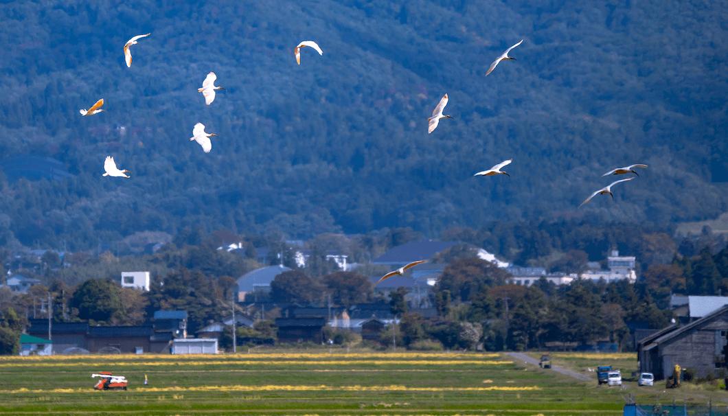 佐渡島のトキ