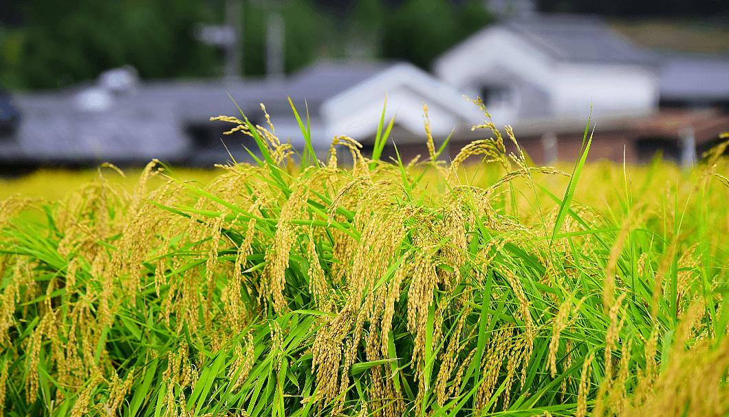 山田錦の栽培風景
