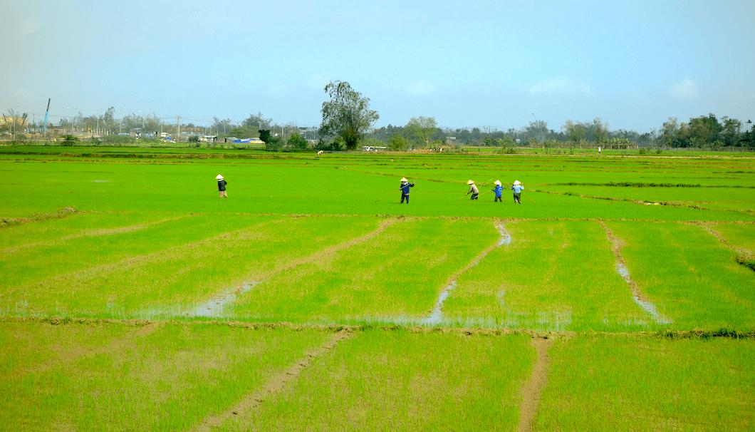 ベトナムの水田